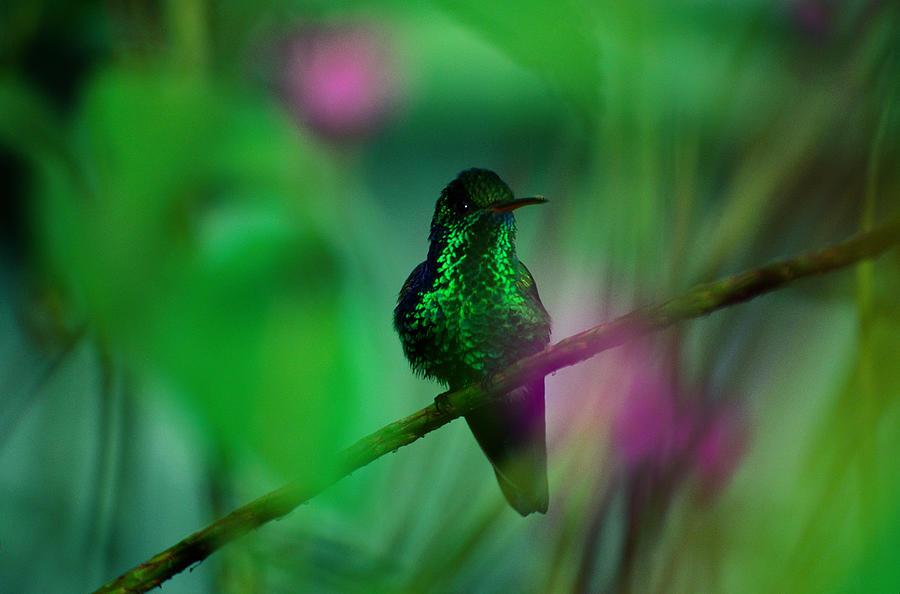 Copper-rumped Hummingbird Amazilia Photograph by Art Wolfe