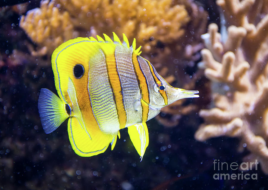 Copperband Butterfly Fish by Kevin McCarthy