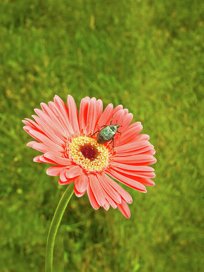 Coral Gerbera Daisy With A June Bug Photograph by Chris Stein