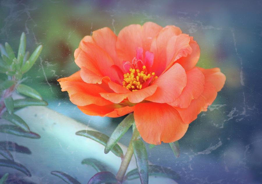 Coral Portulaca flower by Bonnie Willis