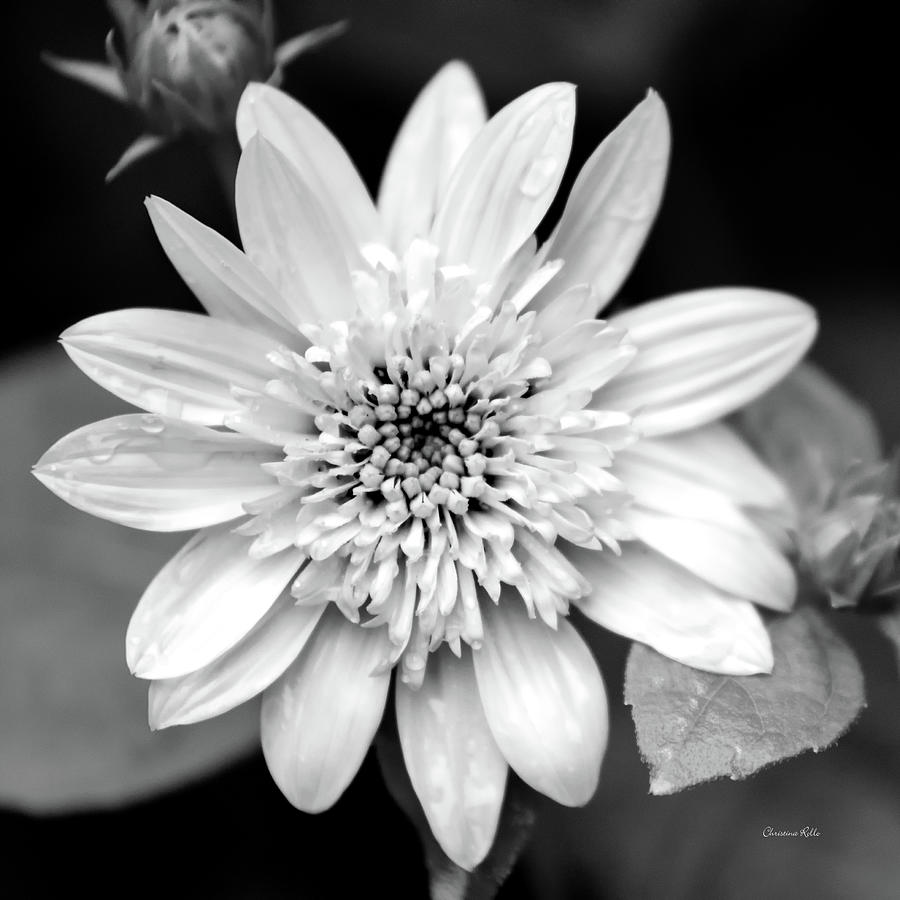Coreopsis Flower Black And White Photograph By Christina Rollo