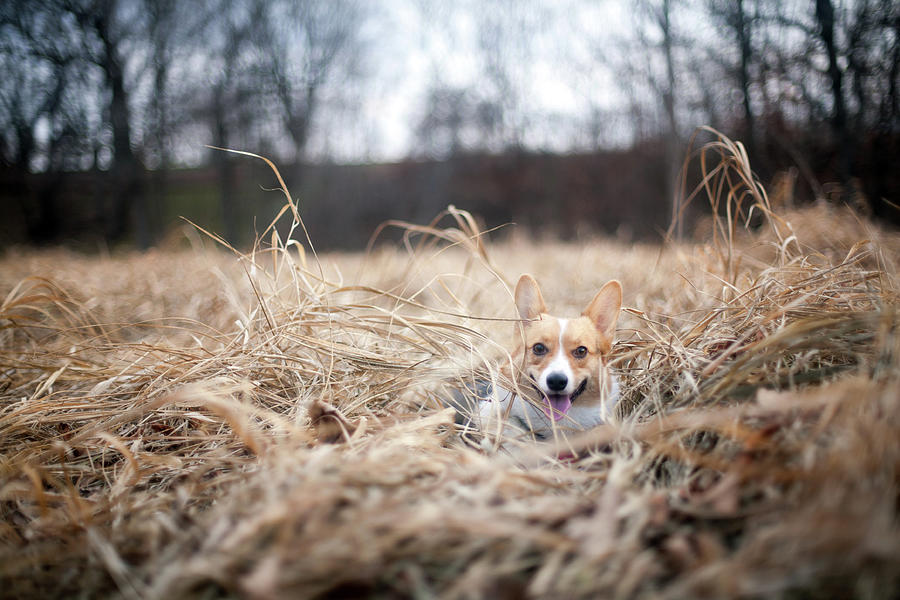 Corgi Puppy In Grass Photograph by Bryant Scannell
