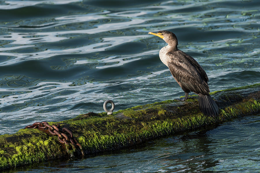 Cormorant and Chain by Robert Potts