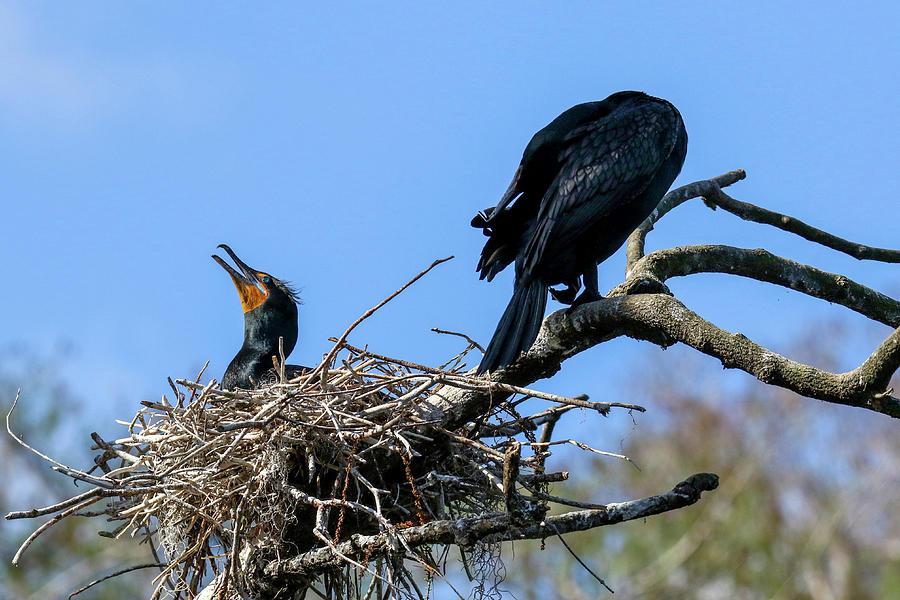 Cormorant Nest by Brook Burling