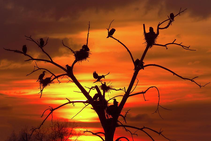 Cormorant Nest Building Time by Gary Kochel
