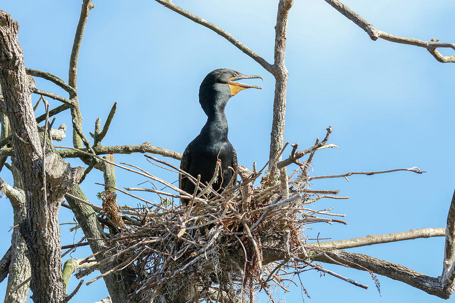 Cormorant Rookery by Brook Burling