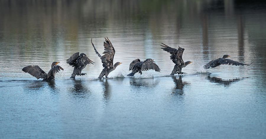 Cormorant Taking Off  by Mike Gifford
