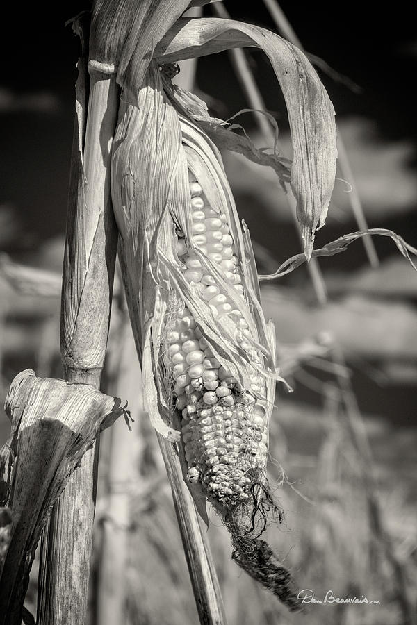 Corn Ready to Harvest 6589 by Dan Beauvais