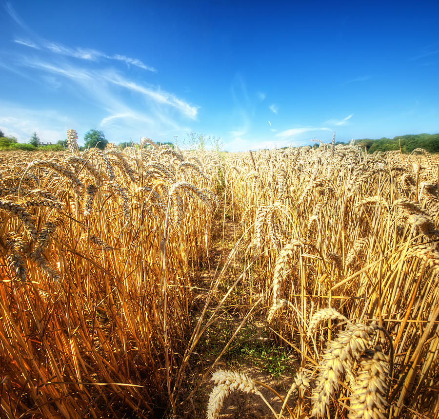 Corn Rield Photograph by Haaghun
