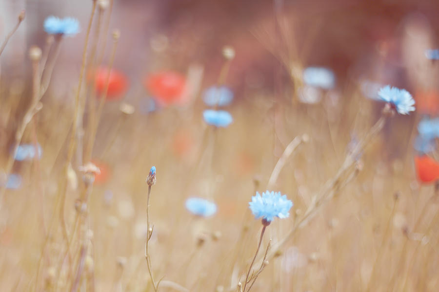 Cornflowers And Poppies In A Soft Photograph by (c) Harold Lloyd