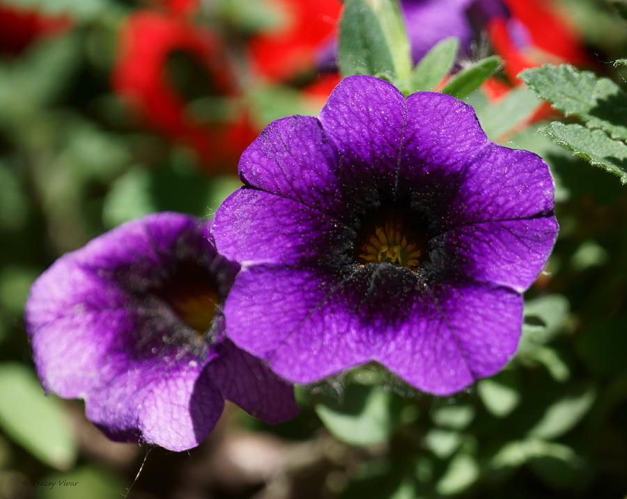 Cosmic Purple Petunias by Tracey Vivar