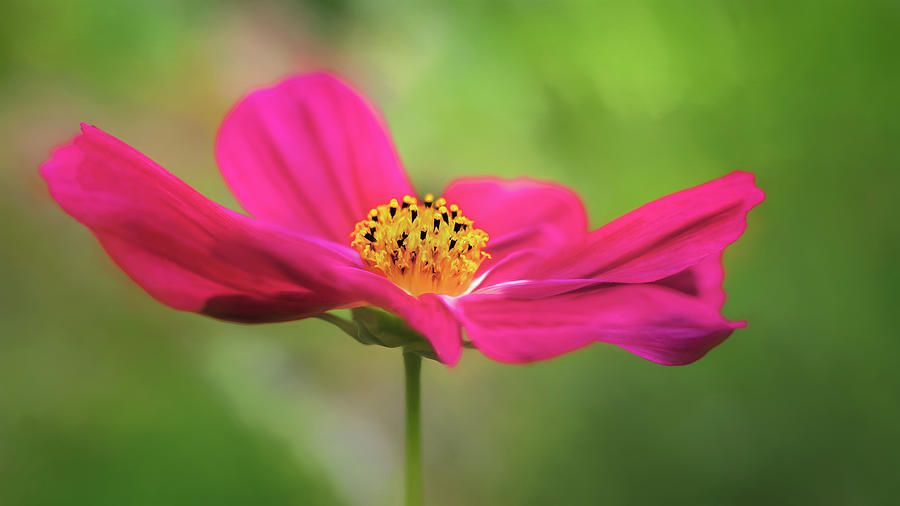 Flower Photograph - Cosmo by S A Littau