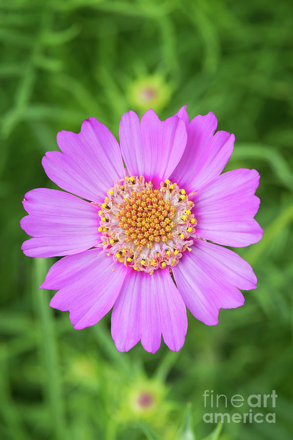 Asters Photograph - Cosmos Bipinnatus Pink Popsocks by Tim Gainey