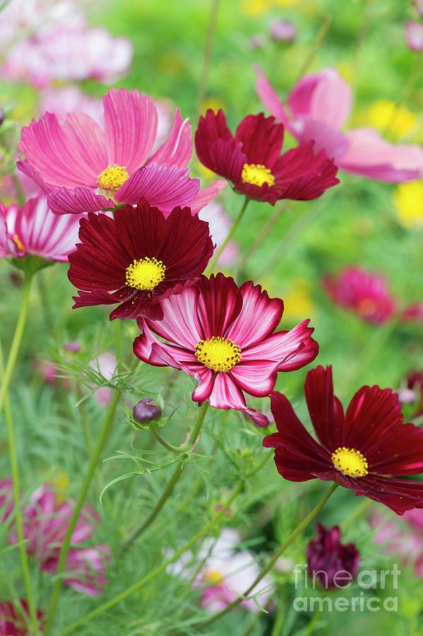 Cosmos Bipinnatus Velouette Flowers by Tim Gainey