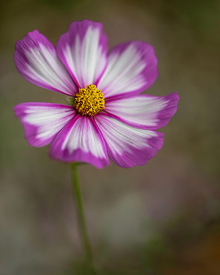 Portland Photograph - Cosmos Dance By Tl Wilson Photography by Teresa Wilson