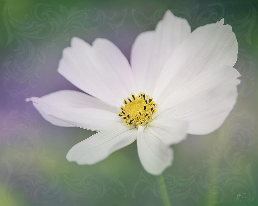 Cosmos Elegance by TL Wilson Photography by Teresa Wilson