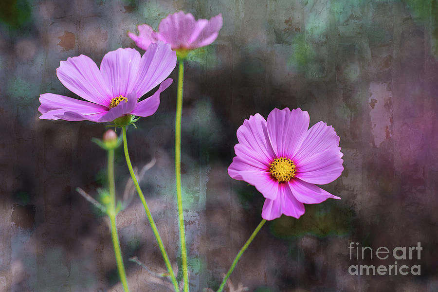 Cosmos by Susan Warren