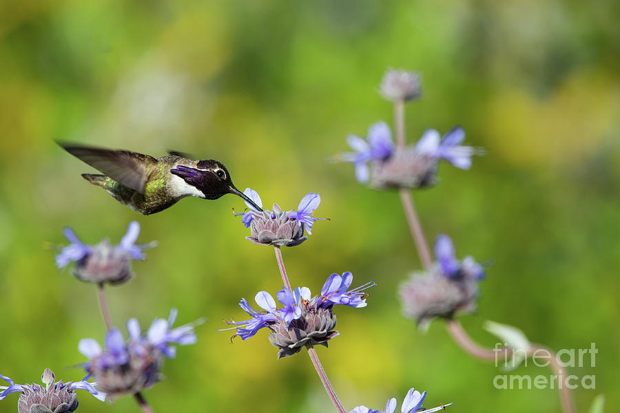 Animals Photograph - Costa Hummingbird Crest Ridge Ecological Reserve by Michael Vance Pemberton