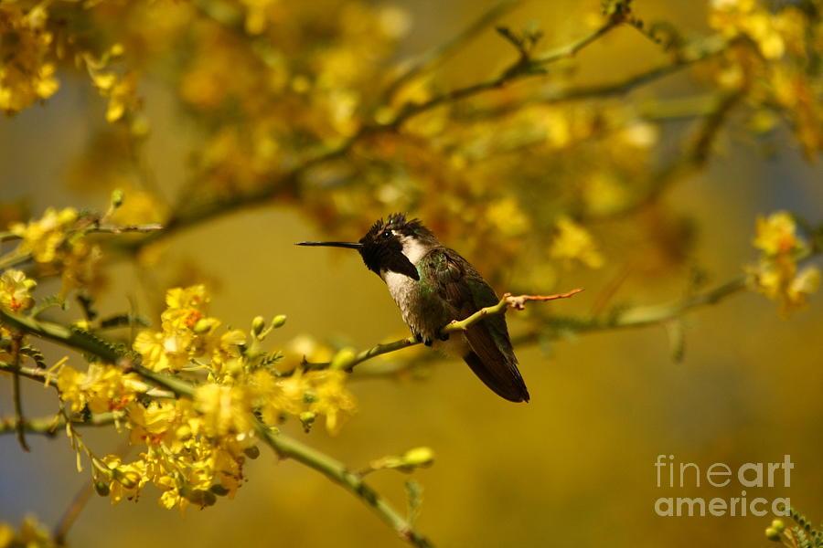 Animals Photograph - Costa Hummingbird Hanging Out. by Michael Vance Pemberton