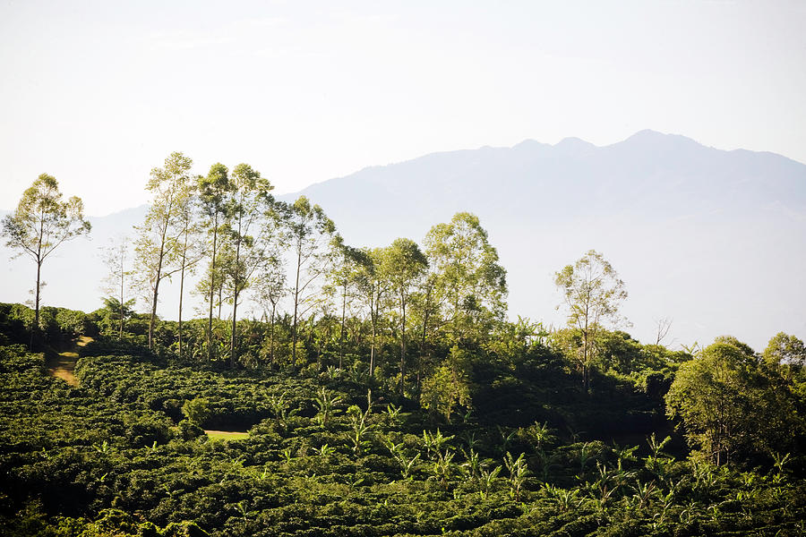 Costa Rica, Alajuela, Coffee Plants At Photograph by Bob Stefko