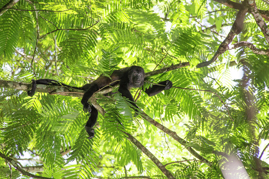 Costa Rica Lounging Howler Monkey Photograph