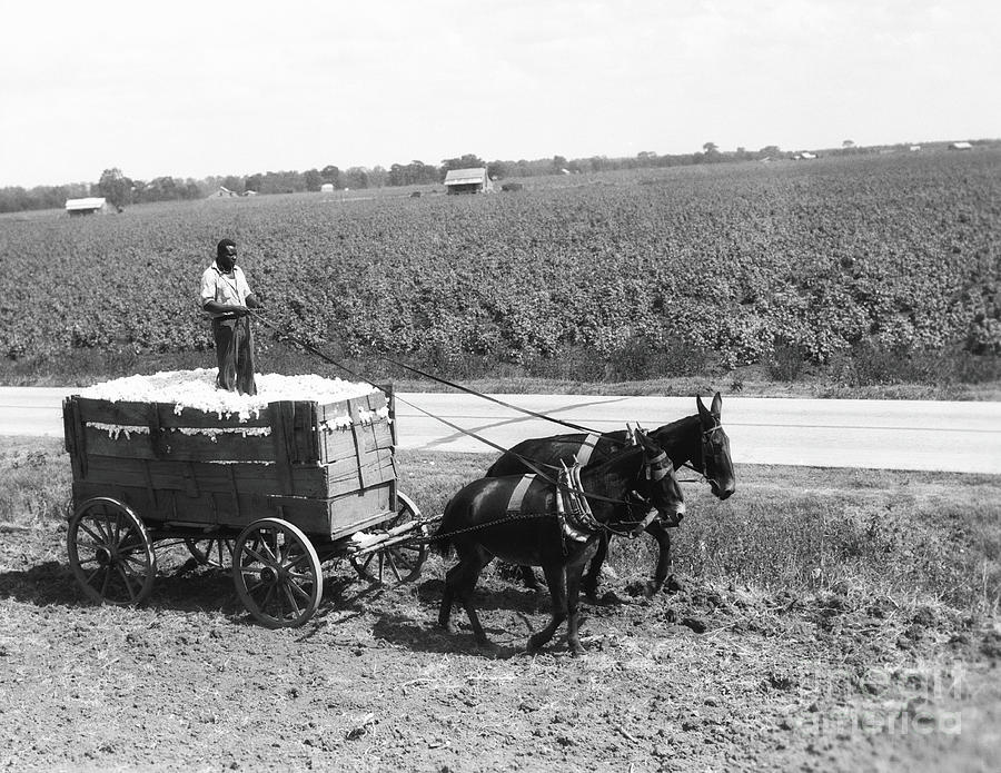 Cotton Farmer Photograph by H. Armstrong Roberts