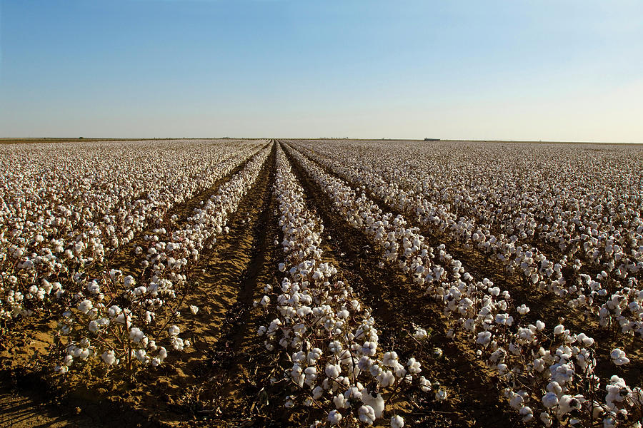 Cotton Field, Ready For Harvest Photograph by Danita Delimont