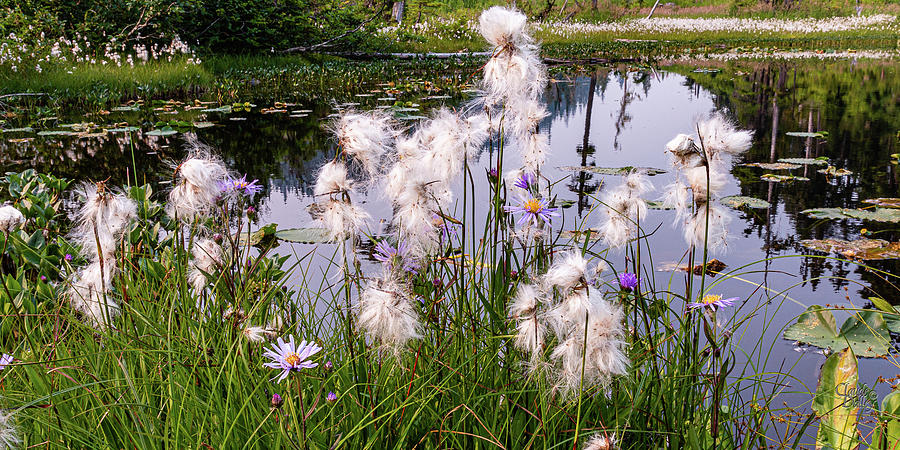 Cotton Grass by Claude Dalley