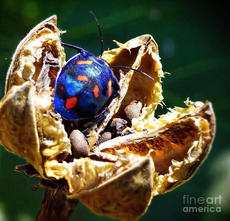 Cotton Harlequin Bug by Trudee Hunter