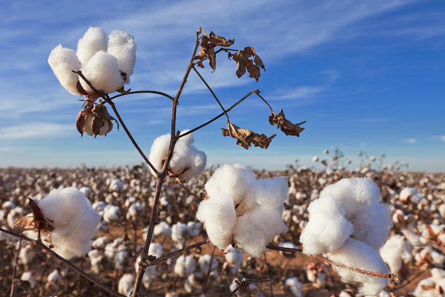 Cotton In Field Ready For Harvest Photograph by Dszc