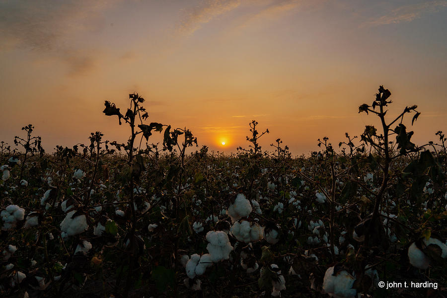Cotton In The Field  by John Harding