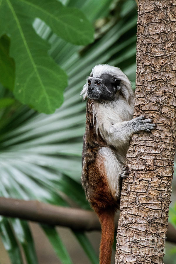 Cotton-top Tamarin by Arterra Picture Library