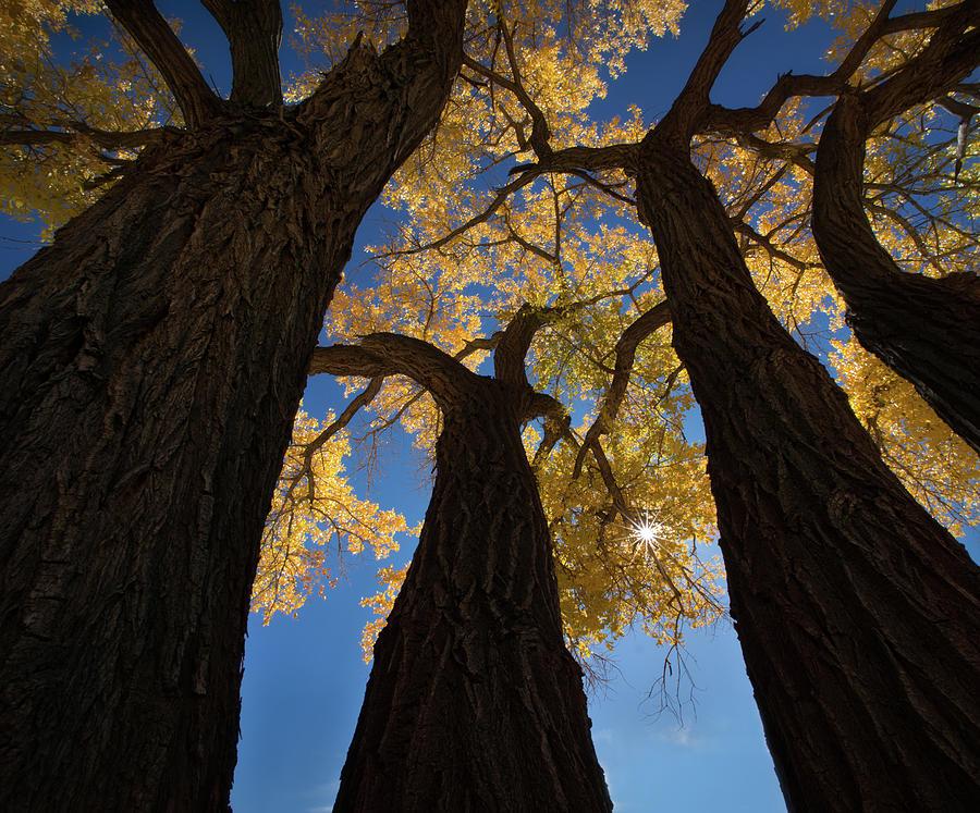 Zion Photograph - Cotton Woods by Shenshen Dou