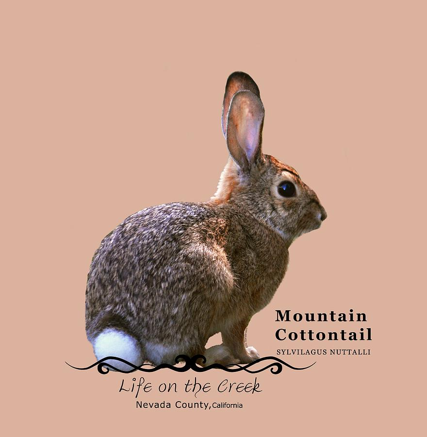 Cottontail Rabbit by Lisa Redfern