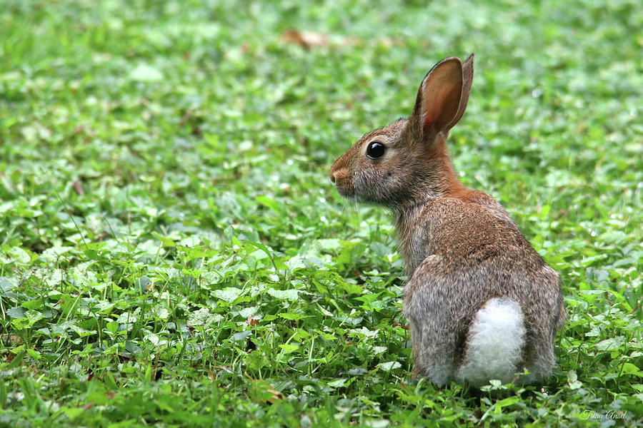 Cottontail by Trina Ansel