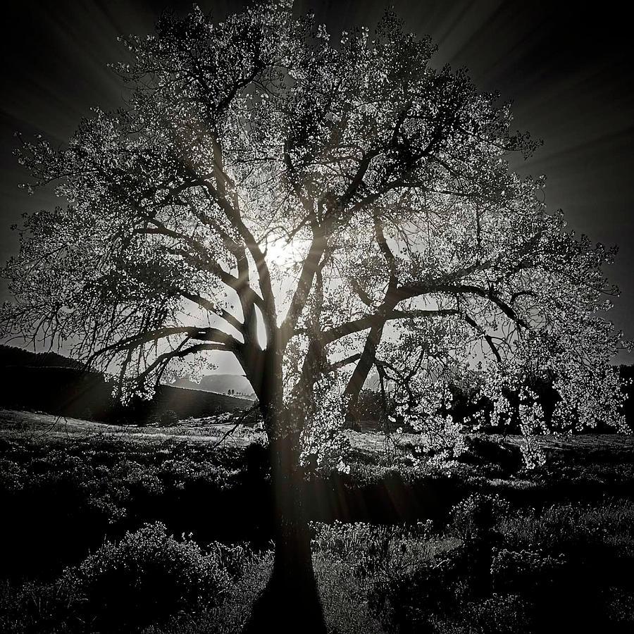 Cottonwood Sun Radiance, B and W by Flying Z Photography by Zayne Diamond