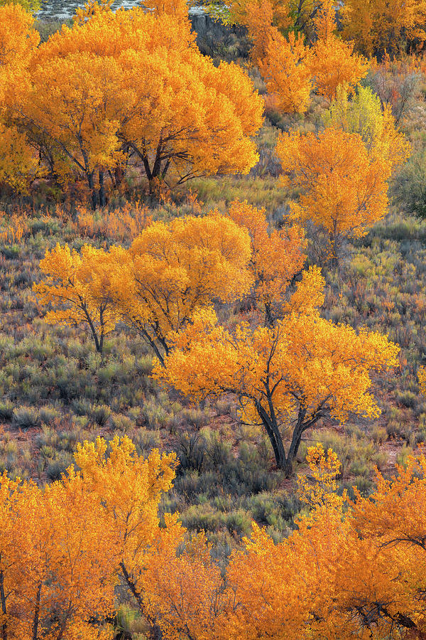 Cottonwoods in Autumn by Dustin LeFevre