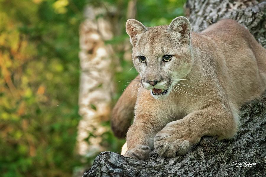 Cougar Confidence by Peg Runyan