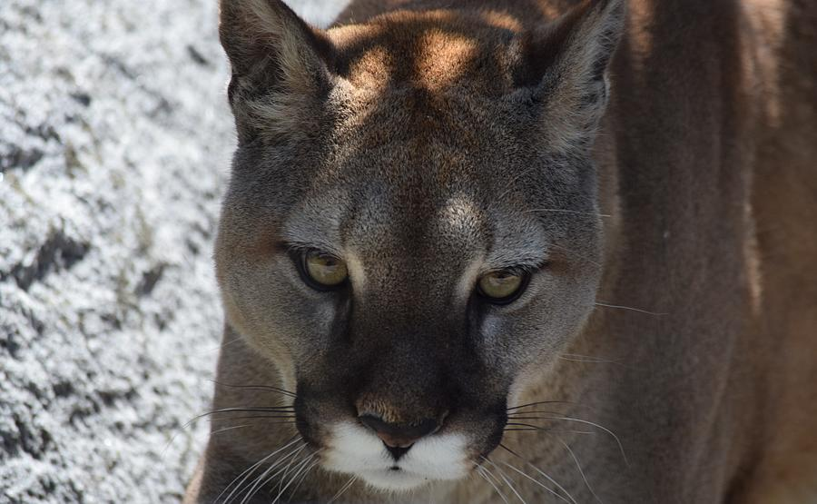 Cougar in Washington by Lkb Art And Photography
