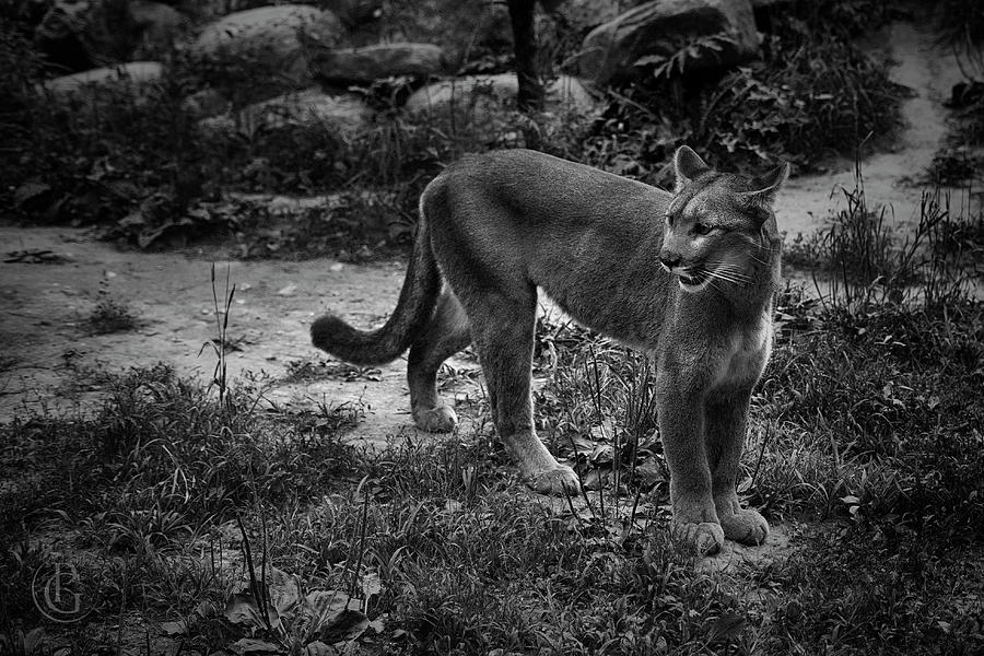 Cougar by Patrick Groleau