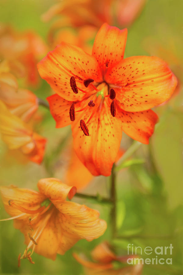 Gardens Photograph - Could These Be Tiger Babies? by Marilyn Cornwell