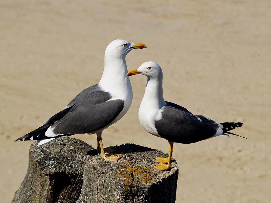Birds Photograph - Couple De Goelands Marins by Christine AVIGNON