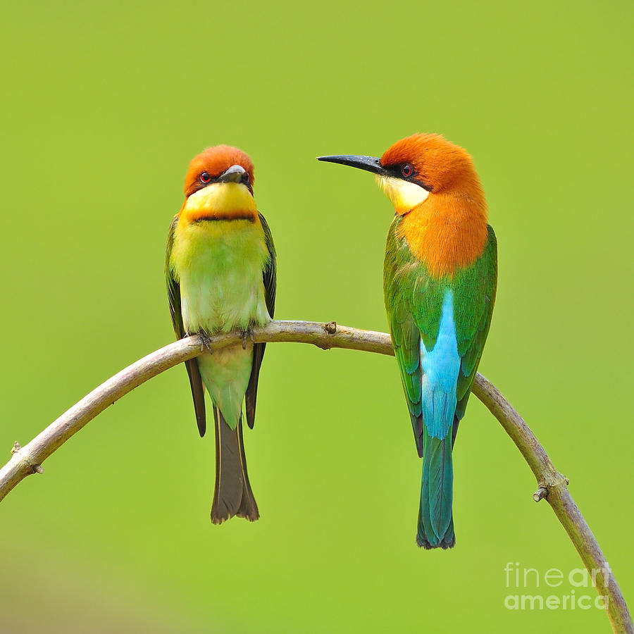 Quick Photograph - Couple Of Bee Eater Bird by Butterfly Hunter