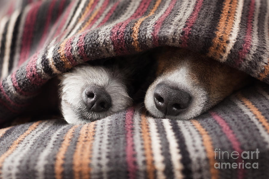 Bed Photograph - Couple Of Dogs In Love Sleeping by Javier Brosch
