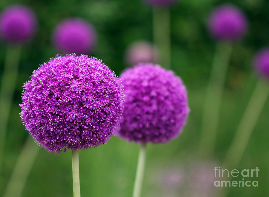 Small Photograph - Couple Of The Allium Purple Flowers by Northernland