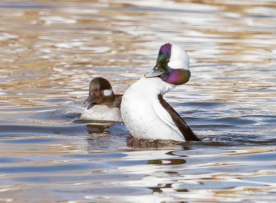 Courting Bufflehead Ducks by Judi Dressler