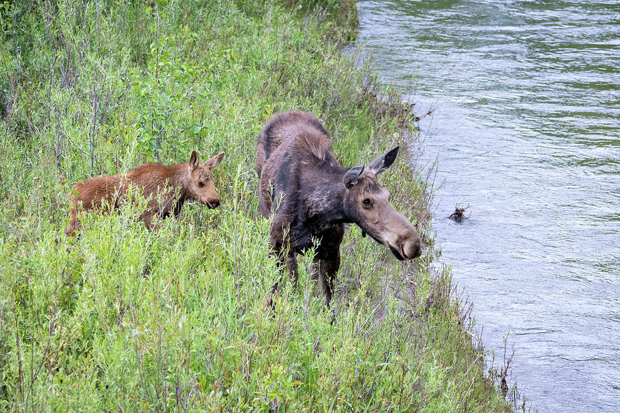 Cow and Calf Moose by Michael Chatt