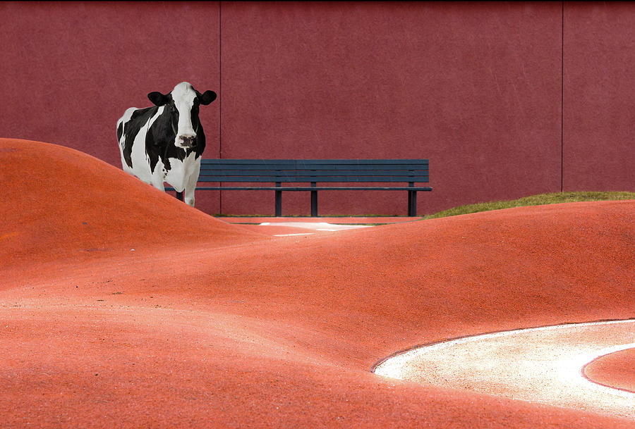 Cow And Empty Bench Photograph by Christian Beirle González