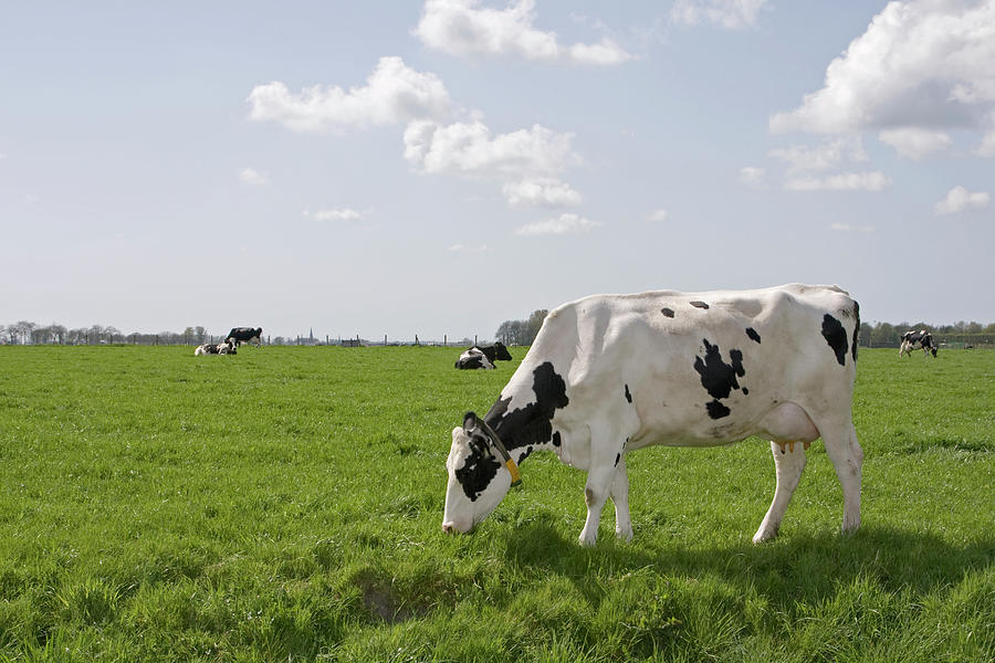 Cow Eating Grass On Farm Land Photograph by Ebrink