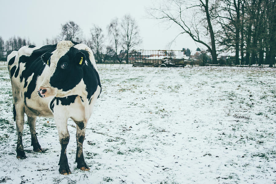 Cow in Snow Pasture by Pati Photography